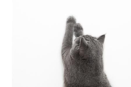 shorthair: Playful British shorthair cat