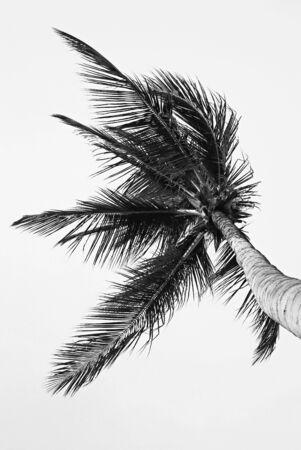 Palm tree detail, Schwarz Weiß Standard-Bild
