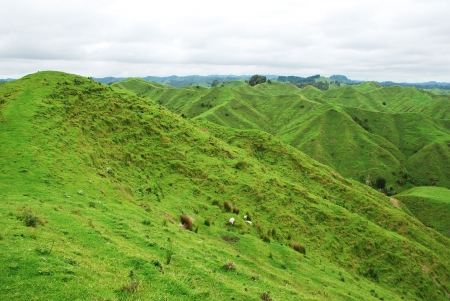 grassfield: Typical New Zealand landscape
