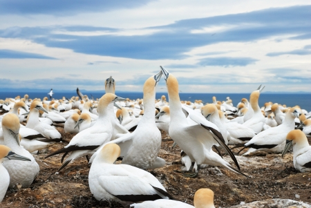 australasian: Gannets at Cape Kidnappers Gannet Colony, Hawkes Bay, New Zealand Stock Photo