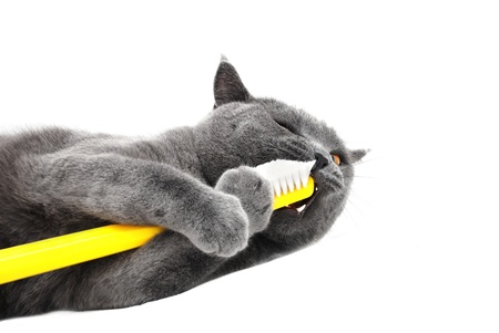 Stock Photo: British shorthair cat playing with toothbrush Stock Photo
