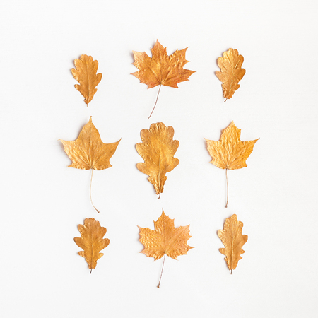 Autumn composition. Autumn maple tree leaves on white background. Flat lay, top view, square 版權商用圖片