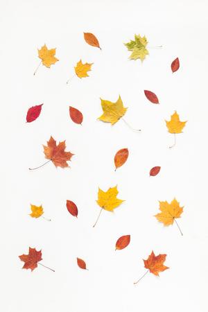 Jesienna kompozycja. Deseń wykonany z klonu jesienią liści drzewa na białym tle. Płaski, górny widok Zdjęcie Seryjne