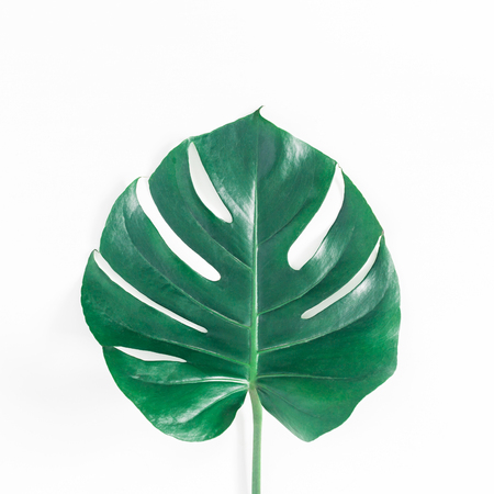 Green tropical monstera leaf on white background. Summer concept. Flat lay, top view, square