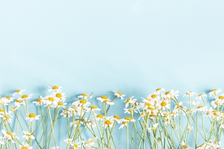 Flowers composition. Chamomile flowers on pastel blue background. Spring, summer concept. Flat lay, top view, copy space Archivio Fotografico