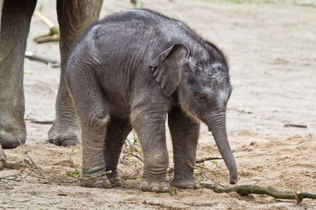HAMBURG - APRIL 27: First public appearance of the baby elephants ASSAM at the zoo Hagenbeck on APRIL 27, 2012  in Hamburg. Stock Photo - 13365353