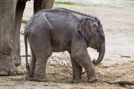 assam: HAMBURG - APRIL 27: First public appearance of the baby elephants ASSAM at the zoo Hagenbeck on APRIL 27, 2012  in Hamburg.