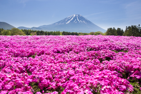 Japan Shibazakura Festival with the field of pink moss of Sakura or cherry blossom with Mountain Fuji Yamanashi, Japan Banque d'images