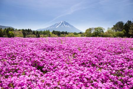 japan sky: Japan Shibazakura Festival with the field of pink moss of Sakura or cherry blossom with Mountain Fuji Yamanashi, Japan Stock Photo