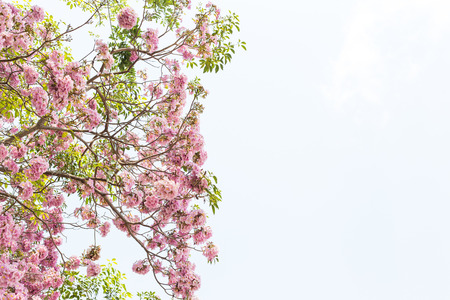 flower tree: Tree with pink blossom flowers in Spring  on white background