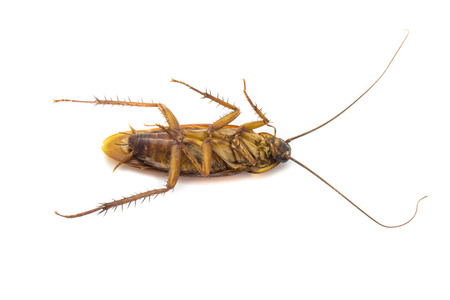 revolting: Closeup cockroach isolated on a white background