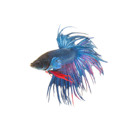 blue siamese: Blue siamese fighting fish, betta splendens isolated on white background