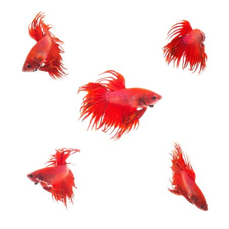 half moon tail: Collection Group of orange red siamese fighting fish, Betta splendens fish on white background Stock Photo
