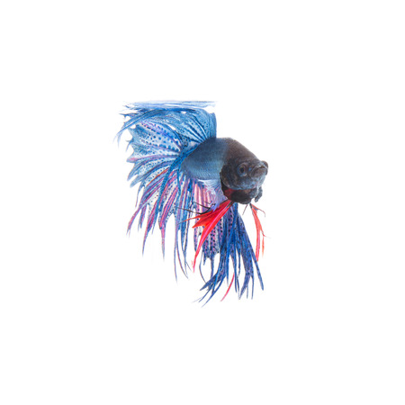 half moon tail: Blue siamese fighting fish, betta splendens isolated on white background