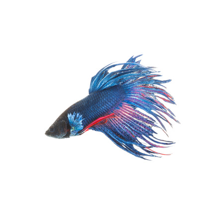 blue fish: Blue siamese fighting fish, betta splendens isolated on white background