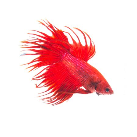 half moon tail: orange red siamese fighting fish, betta splendens isolated on white background Stock Photo