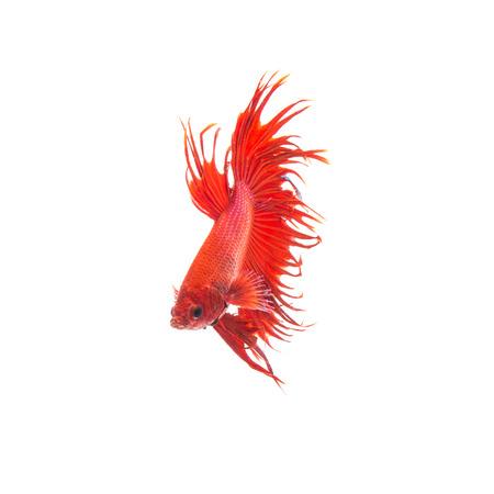 half moon tail: orange red siamese fighting fish, betta splendens isolated on white background Stock Photo