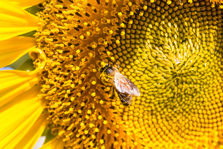carpel: closeup bee on sunflower with yellow carpel