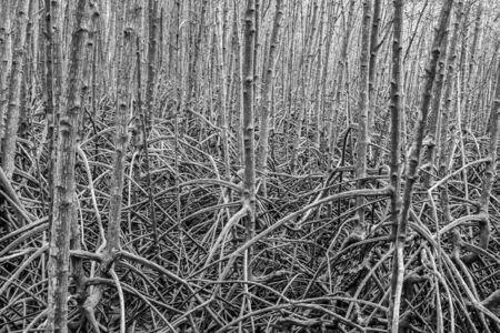 plentiful: Root for mangrove forest is plentiful background at Rayong mangrove forest Thailand. Abstract black and white