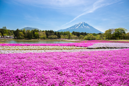 Japan Shibazakura Festival with the field of pink moss of Sakura or cherry blossom with Mountain Fuji Yamanashi, Japan is famous place and popular for tourist in vacation.