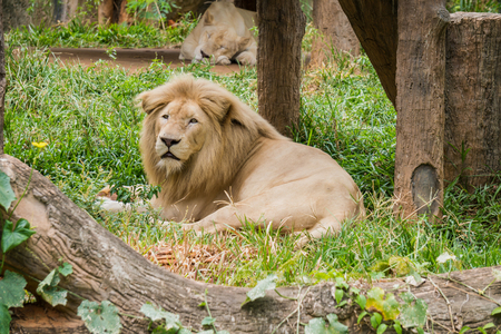 Big male lion lying on the grass and female lion sleep background