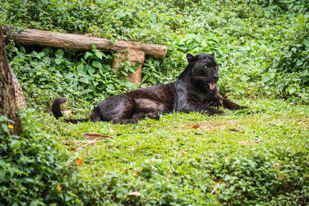 Black leopard or panther sleep on grass in jungle.