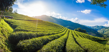 Beautiful landscape panorama view of 101 tea plantation in bright day on blue sky background , tourist attraction at Doi Mae Salong Mae Fah Luang Chiang Rai province in thailand.
