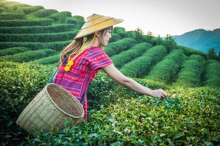 Women in local hill tribe holding young green tea leaves on hill in the evening with sunset ray at Doi Mae Salong Mae Fah Luang Chiang Rai Thailand, agricultural tree plantation. 写真素材