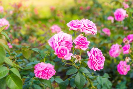 Beautiful pink rose in a garden with green leaf background Reklamní fotografie
