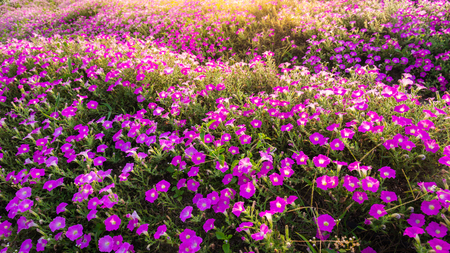 Landscape of blooming pink and white flower field on mountain under the red colors of the summer sunset.