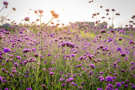 Closeup of blooming lavender flower field background on mountain under the red colors of the summer sunset. Reklamní fotografie