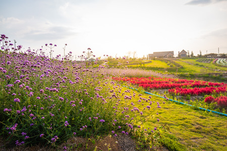 Landscape of blooming lavender and pink red flower field with beautiful house on mountain under the red colors of the summer sunset.