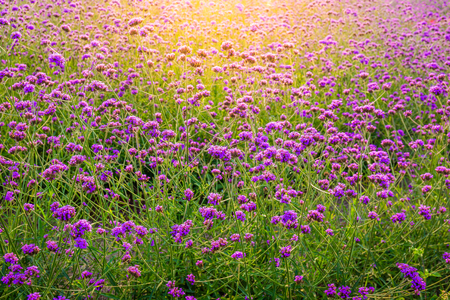 Closeup of blooming lavender flower field background on mountain under the red colors of the summer sunset. Stock Photo