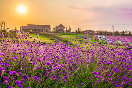 Landscape of blooming lavender flower field with beautiful house on mountain under the red colors of the summer sunset. Stock Photo
