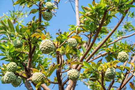 Fresh Custard Apple or Annona on the tree in Thailand Banque d'images