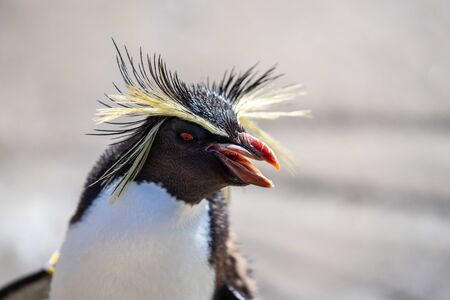 Northern rockhopper penguin, Moseleys rockhopper penguin, or Moseleys penguin