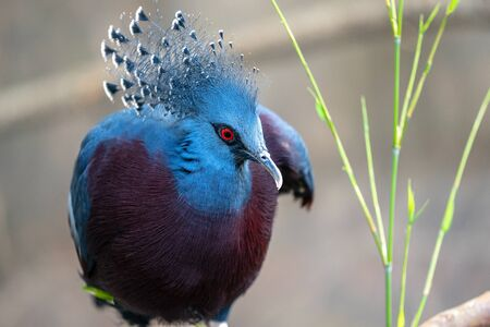 The Victoria crowned pigeon ,Goura victoria is a large, bluish-grey pigeon with elegant blue lace-like crests, maroon breast, and red irises