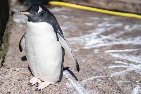 Der Eselspinguin Pygoscelis papua ist eine Pinguinart der Gattung Pygoscelis