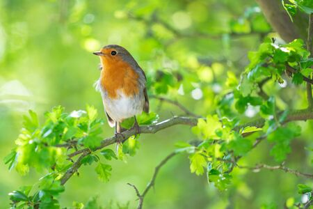 The European robin, Erithacus rubecula, known simply as the robin or robin redbreast in the British Isles