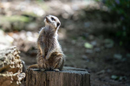 The meerkat, Suricata suricatta or suricate is a small carnivoran in the mongoose family. It is the only member of the genus Suricata