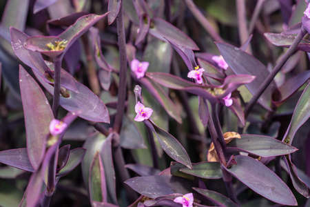 Tradescantia pallida more commonly known as wandering jew or walking jew. Other common names include purple secretia, purple-heart, purple queen