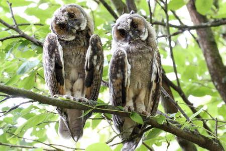 eared: Couple of long eared owls