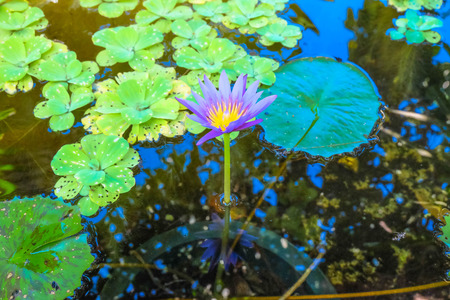 purple lotus: Purple Lotus in The Fish pond