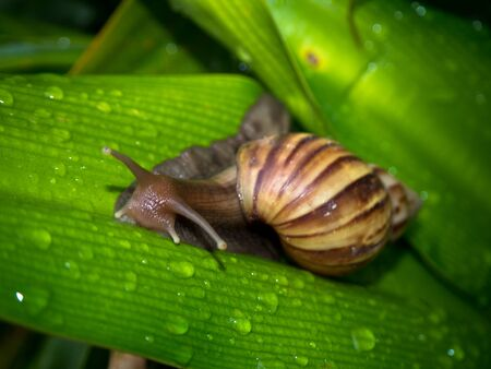 mollusca: Snail on leaf green of nature