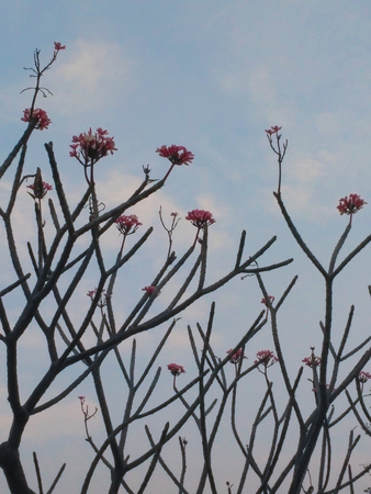 asterids: Red Plumeria with Blue Sky