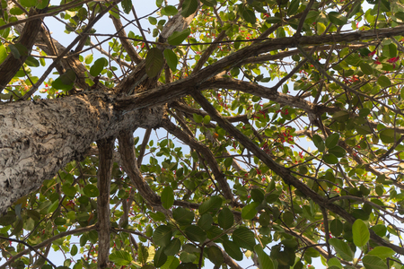 rosids: Dipterocarpus intricatus, High tree
