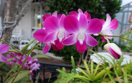 ourdoor: Pink orchids, Focus flower, Defocused, Thailand