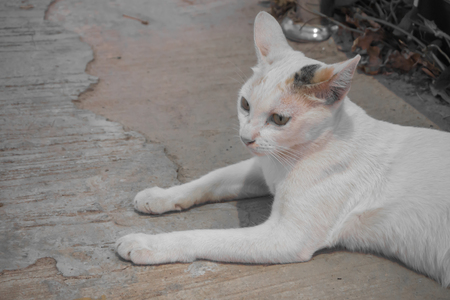 crouch: White cat yellow eye, Thailand Asia Stock Photo