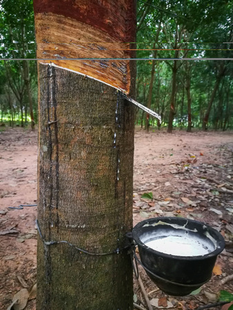 Tapping the rubber on rubber trees
