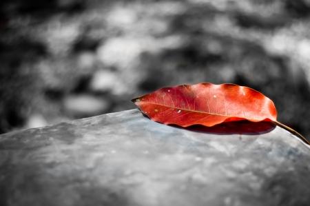 black: Red leaf on black and white background
